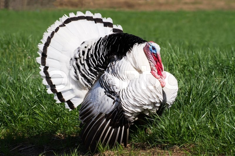 A Royal Palm Turkey Tom Male With White Plumage Black