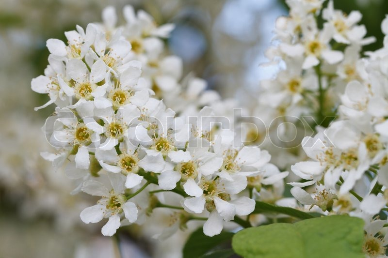 Niedlich Weiß Duftende Blumen Baum Zeitgenössisch - Kleider und ...