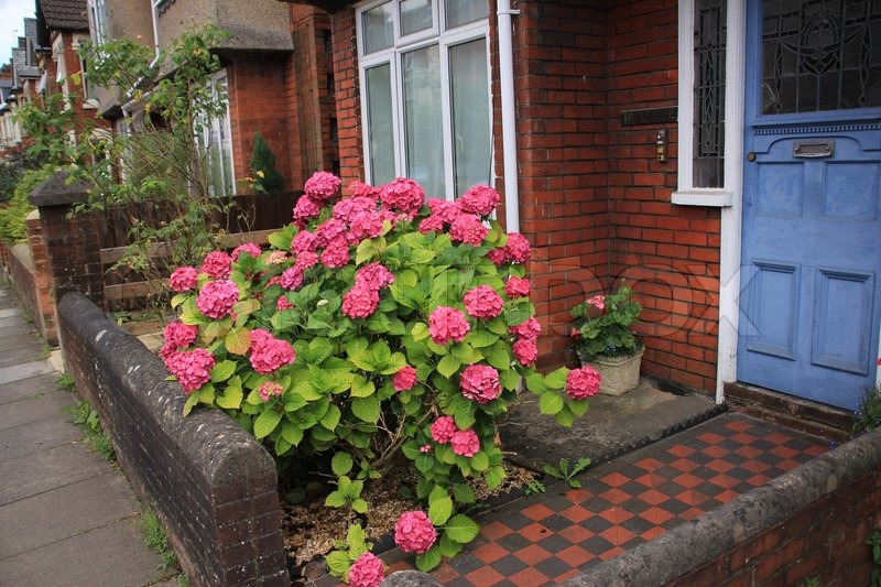 English Style For Garden With Blooming Hydrangea Colour Pink And