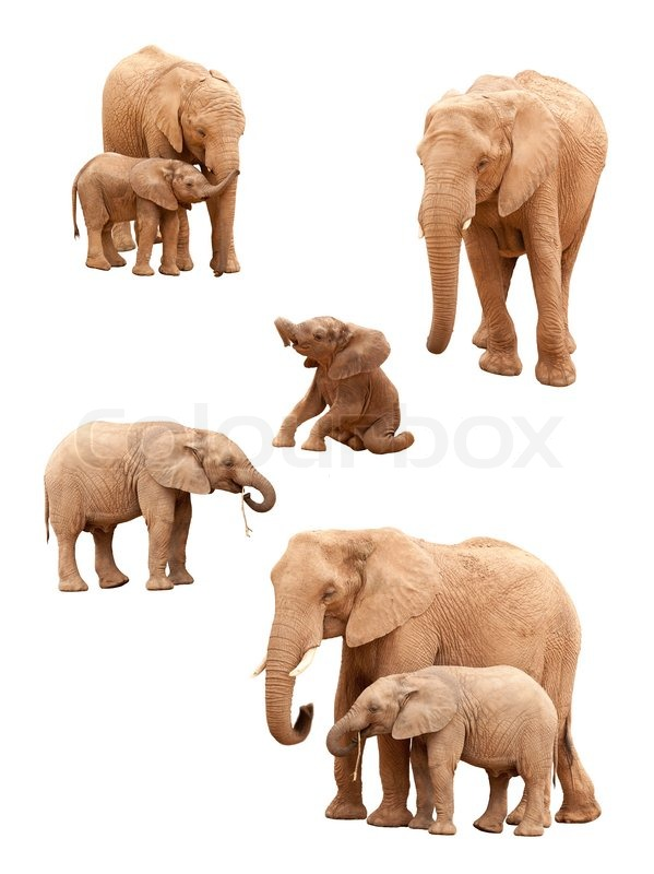 Set of Baby and Adult Elephants Isolated on a White Background, stock photo