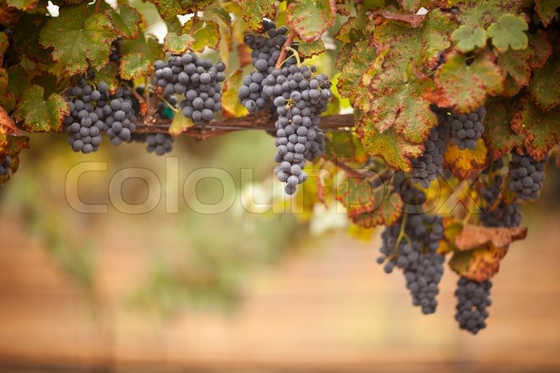 Lush, Ripe Wine Grapes on the Vine Ready for Harvest, stock photo