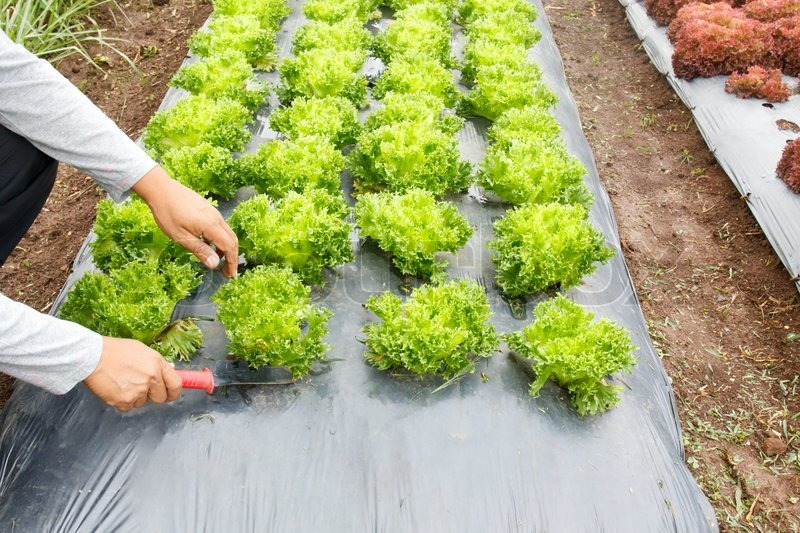 Vegetable Garden ,with Plastic Ground Cover Or Weed Barrier | Stock Photo |  Colourbox