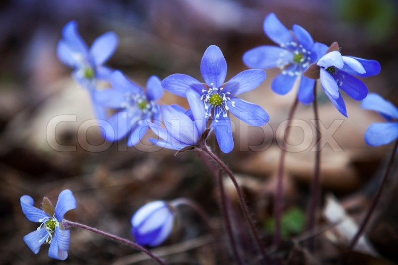 blaue leberbl mchen blumen im fr hling wald closeup foto stockfoto colourbox. Black Bedroom Furniture Sets. Home Design Ideas
