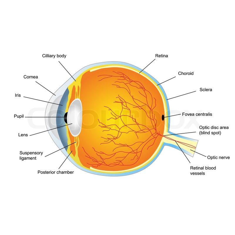 Anatomische Struktur des menschlichen Auges | Vektorgrafik | Colourbox