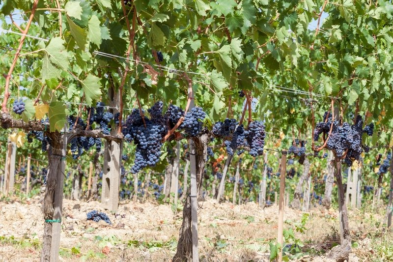 Ripening grape clusters on the vine in the fall, stock photo