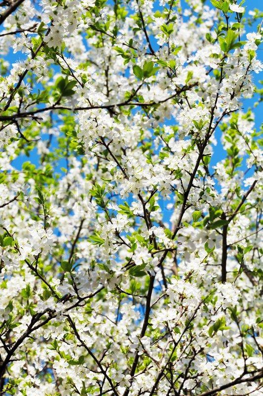 Zweig und weiß blühende Kirsche Baum Krone | Stockfoto | Colourbox
