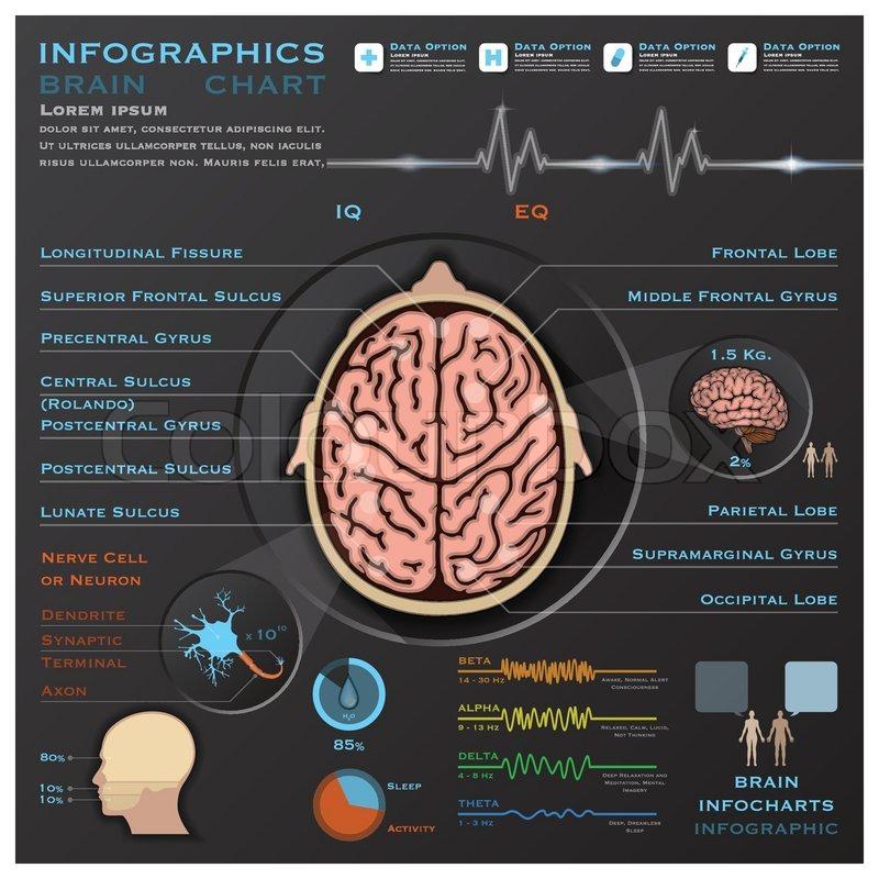 Gehirn und Nervensystem medizinische Infographik Infochart ...