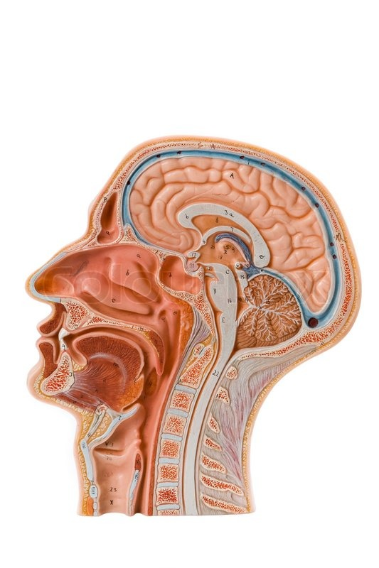 Side View Of A Brain Model Stock Photo Colourbox