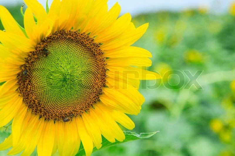vorderseite der sonnenblumen bl hen im gr nen feld verwendung f r mehrzweck naturblumen. Black Bedroom Furniture Sets. Home Design Ideas