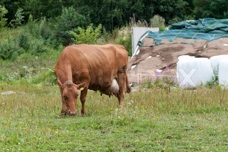Brown Cow Eating Grass on The