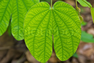 Green leaf in forest in Thai