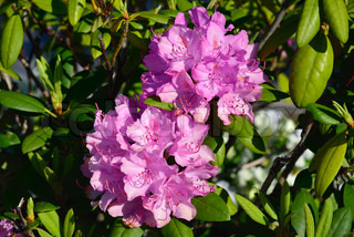 Close-up of rhododendron flowers