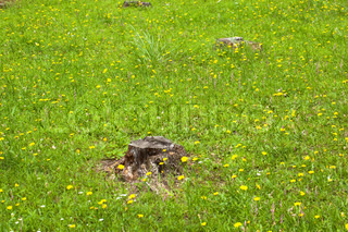 Grassland. flowers and stump