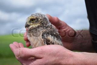 young owl sitting on hand