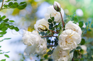 White roses on the branch in the garden