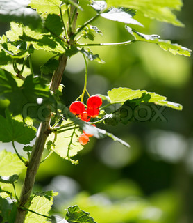 red currant on nature