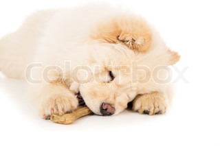 Purebred chow chow puppy with a bone