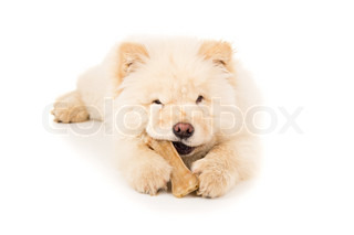 Beautiful chow chow puppy with bone isolated