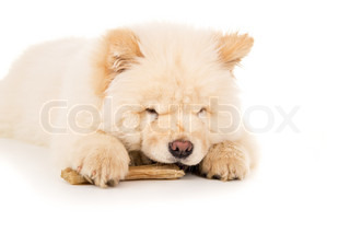 Chow chow puppy chewing on a bone isolated