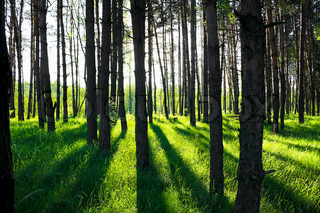 pine forest in sun beams