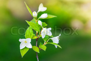 Jasmine flowers on the branch, macro photo with selective focus