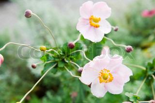 Billede af 'anemone, plante, Blomst'