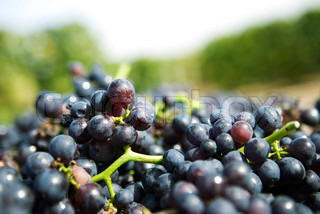 Image of 'grape, harvest, grapes'