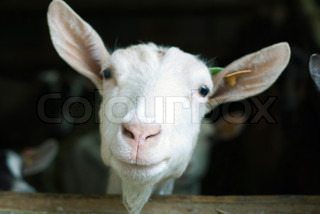 A very cute white goat