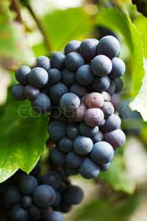 Image of 'grape, wine field, champagne'
