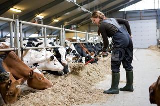 A female farmer feeding cows with hay