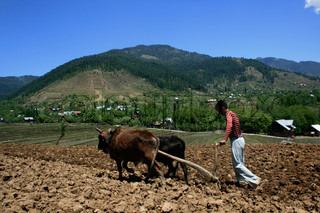 A kashmiri youth farmer plougs his fields in picturesque Lolab Valley close to Indian border with Pakistan in North Kashmir. The 20-year old turmoil i