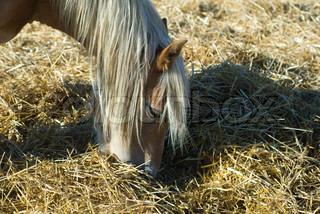 Image of 'hay, mammal, horse'