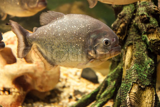 Piranha or Serrasalminae