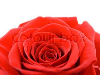 Macro of rose
