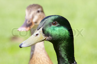 beautiful wild ducks head in the sunlight