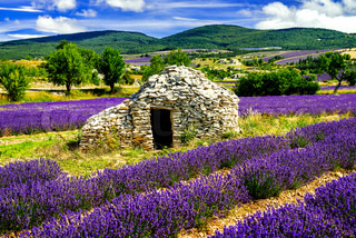 Panoramic view of lavender field with tree france stock photo