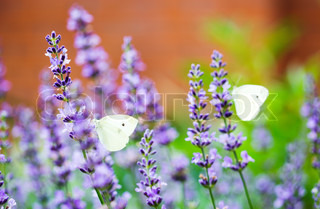 Closeup photo of a Cabbage White butterfly on lavender, with another butterfly in the background
