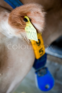 Cow with an ear tag