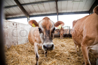 Cow livestock inside a barn
