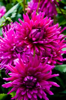 Billede af 'blomst, festuge, closeup'