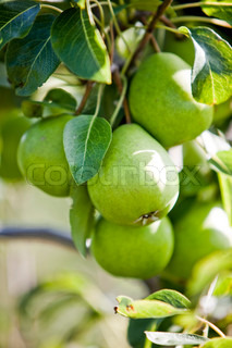 Green pears on a tree