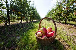 Billede af 'æbler, kurve, sæsoner'