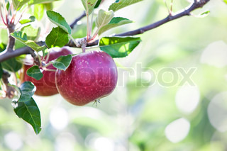 Apples ready to be harvested
