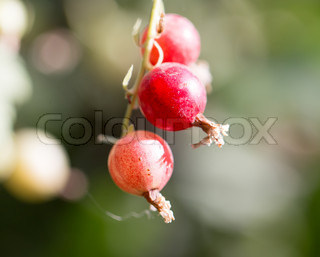 red currant in nature. macro