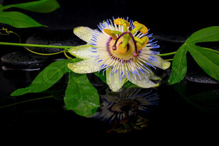 beautiful spa setting of passiflora flower and green branch on zen stones with reflection in water, closeup