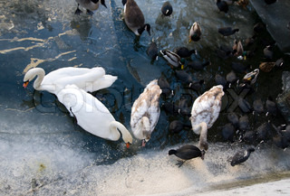 Top view of flock of swans, ducks and geese on an icy lake