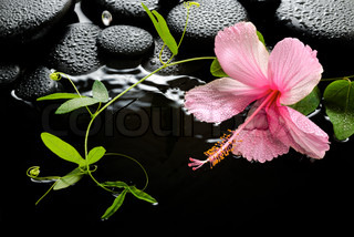 Beautiful spa setting of delicate pink hibiscus, green tendril passionflower and zen stones with drops, on ripple water, closeup
