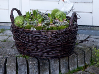 Hyacinth plant used for Christmas decoration