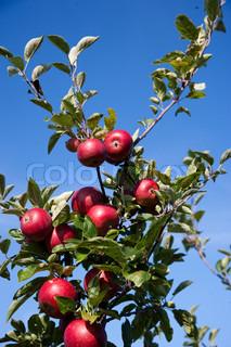 Autumn scene - apple tree in an apple plantation