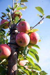 Bild von 'sich verzweigen, geerntet, früchte tragen'